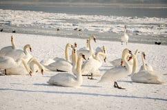 Menge von weißen Höckerschwänen im Strand abgedeckt durch Schneenatur-Winterbild Stockfotografie