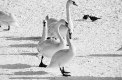 Menge von weißen Höckerschwänen im Strand abgedeckt durch Schneenatur-Winterbild Lizenzfreie Stockbilder