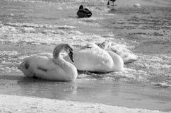 Menge von weißen Höckerschwänen im Strand abgedeckt durch Schneenatur-Winterbild Stockfoto