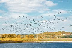 Menge von weißen Pelikanen Stockbild