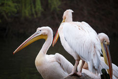 Menge von weißen Pelikanen auf dem See Stockbild