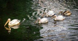 Menge von weißen Pelikanen auf Wasser Stockfotografie