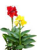 Mengeling Canna Stock Foto