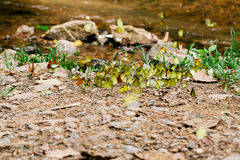 Mengelingsvlinder stock afbeelding