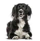 Mengen-rassenhond, 10 die jaar oud, op wit wordt geïsoleerd Stock Foto