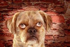 Mengen-rassenhond met mensenogen stock afbeelding