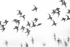 Mengenfliegenflussuferläufer Stockbilder