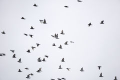 Mengenvögel fliegen Lizenzfreies Stockbild