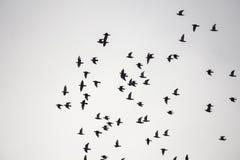 Mengenvögel fliegen Stockfoto