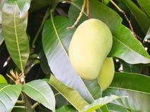 mengo плодоовощ стоковое изображение rf