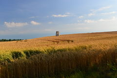 Golden wheat field. Menhir in the middle of a corn field in summertime Stock Photography
