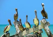 Menigte van Bruine Pelikanen die op een oude edele worden neergestreken Royalty-vrije Stock Afbeeldingen