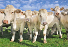 Menigte van kalveren en koeien Royalty-vrije Stock Afbeeldingen