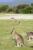 Menigte van kangoeroes Stock Foto's