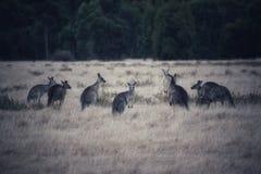 Menigte van kangoeroes stock fotografie