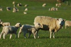 Menigte van schapen stock foto's