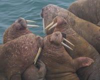 Menigte van Walrus Royalty-vrije Stock Afbeeldingen