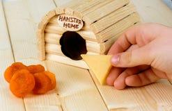 A menina acena o hamster com uma parte de queijo Imagem de Stock Royalty Free