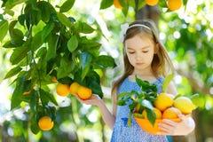 A menina adorável que escolhe laranjas maduras frescas na árvore alaranjada ensolarada jardina Fotos de Stock