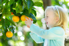 A menina adorável que escolhe laranjas maduras frescas na árvore alaranjada ensolarada jardina Fotografia de Stock