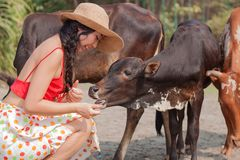 A menina alimenta as vacas imagens de stock