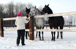 A menina alimenta os cavalos Imagens de Stock