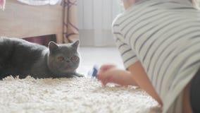 A menina bonita joga com um gato cinzento em casa Gato exótico do shorthair filme