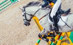 Menina bonita no cavalo uniforme e cinzento do adestramento na competição do showjumping Imagens de Stock