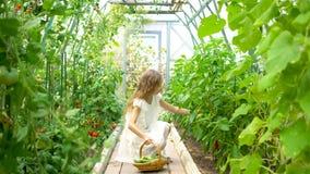 A menina bonito recolhe pepinos e tomates da colheita na estufa vídeos de arquivo