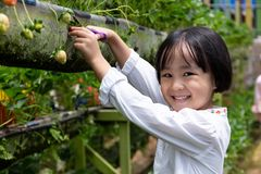 Menina chinesa pequena asi?tica que escolhe a morango fresca fotografia de stock royalty free