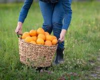 Menina com as laranjas no pomar alaranjado Irmãs bonitas com a laranja orgânica no jardim Conceito da colheita Jardim, adolescent imagem de stock royalty free