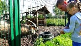 Menina com grama de alimentação do paizinho à cabra através da cerca filme
