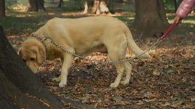 Menina com um Labrador vídeos de arquivo