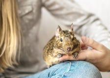 Menina do jovem adolescente que joga com o esquilo comum chileno animal pequeno do degu Retrato do close-up do animal de estimaçã fotos de stock