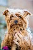 A menina guarda o yorkshire terrier pequeno da raça do cão em seus braços a imagem de stock royalty free