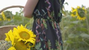Menina magro irreconhecível que anda e que escolhe flores na cesta de vime grande no campo do girassol Conexão com video estoque