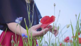 Menina magro nova irreconhecível que toca na flor vermelha com sua mão em um close-up do campo da papoila Conex?o com a natureza  filme