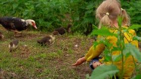 A menina olha um pato com patinhos video estoque