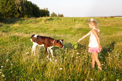 A menina pequena alimenta uma vitela Fotografia de Stock Royalty Free