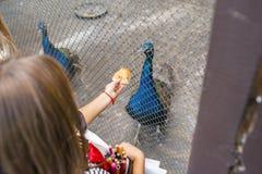 Menina que alimenta um pavão fotografia de stock