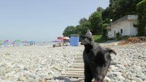 Menina que anda com o cão pequeno engraçado na praia Batumi, Geórgia filme