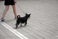 Menina que anda com seu animal de estimação Fotografia de Stock Royalty Free