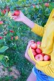 Menina que escolhe maçãs maduras vermelhas do verão imagem de stock
