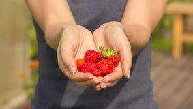 Menina que guarda morangos frescas em suas mãos, close-up fotos de stock
