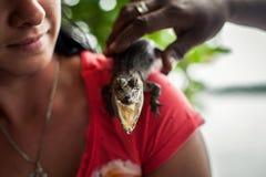 Menina que guarda um crocodilo pequeno Crocodilo que mostra a estrutura dos dentes na exploração agrícola do jacaré nos maris imagem de stock
