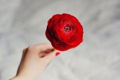 Menina que guarda um ranunkulyus vermelho da flor com uma pluralidade de pétalas Fotos de Stock Royalty Free