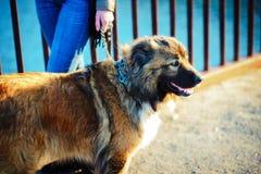 Menina que joga com cão-pastor caucasiano, outono foto de stock royalty free