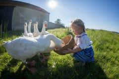 Menina que joga com gansos Fotografia de Stock