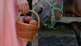 A menina realiza em sua mão uma cesta de vime das maçãs perto do cavalo a menina alimenta um cavalo com maçãs 4K v?deo 4K video estoque