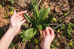 A menina recolhe o primeiro alho selvagem novo na floresta foto de stock royalty free